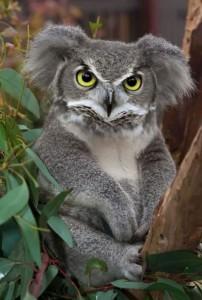 bufnito-koala